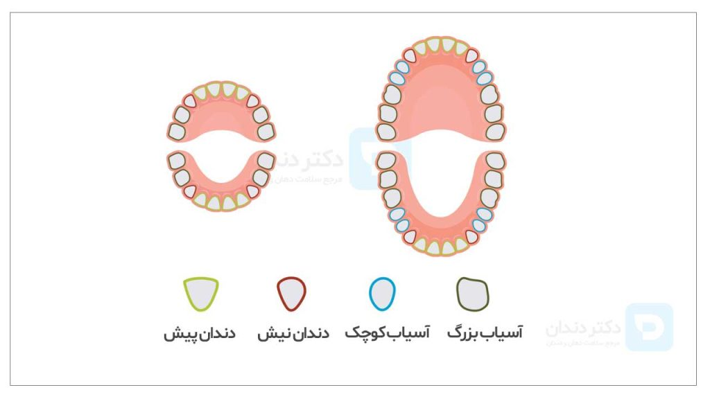 تصویر انواع دندان و تاثیر نوع دندان در برآورد هزینه کشیدن دندان ها